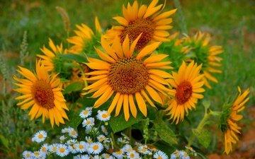 цветы, лето, лепестки, ромашки, подсолнухи