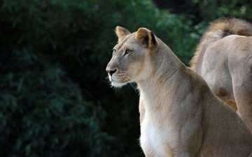 eyes, look, profile, leo, predators, lioness