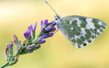 macro, butterfly