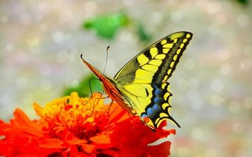macro, insect, flower, butterfly, wings