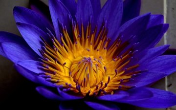 макро, цветок, лепестки, водяная лилия