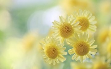 flowers, macro, blur, yellow, chrysanthemum, bokeh