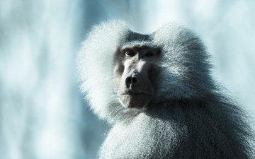 морда, обезьяна, бабуин