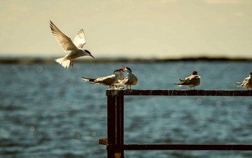 water, sea, summer, wings, birds, seagulls