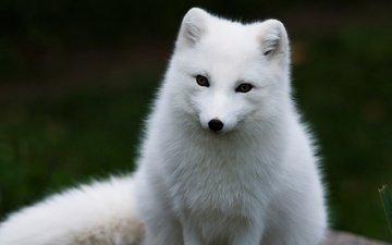 песец, арктическая лиса