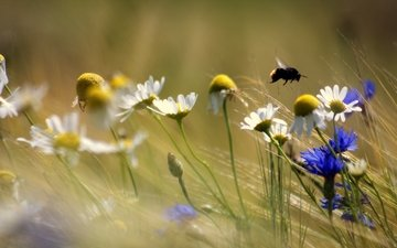 flowers, plants, insect, blur, chamomile, bee, cornflowers, wildflowers