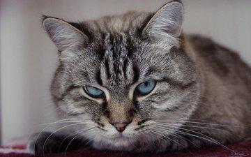 портрет, кошка, взгляд