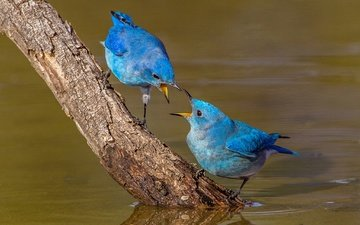 water, branch, nature, birds, beak, pair, blue sialia, sialia