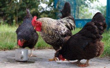 птицы, курица, корм, петух, курицы, куры