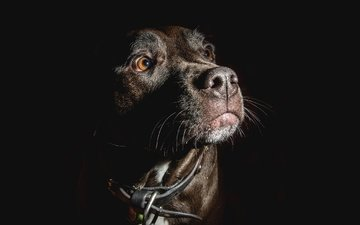 muzzle, look, dog, black background, each