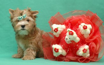 muzzle, look, dog, puppy, bouquet, yorkshire terrier