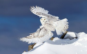 owl, snow, winter, wings, snowy owl, white owl