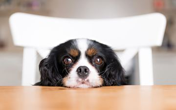 muzzle, look, dog, puppy, spaniel, cavalier-king-charles-spaniel