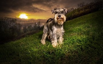 grass, trees, the evening, nature, greens, sunset, the bushes, slope, dog, schnauzer