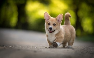 muzzle, look, dog, puppy, welsh corgi, pembroke