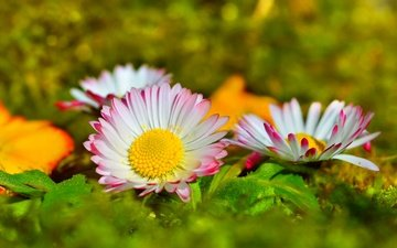 flowers, petals, blur, daisy