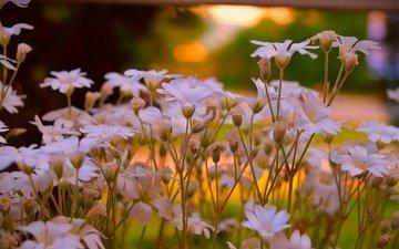 flowers, petals, stems, cerastium