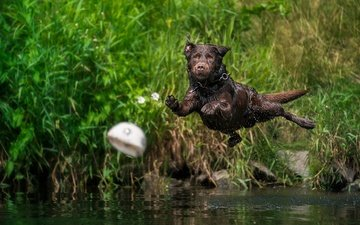 water, dog, squirt, jump, the ball, labrador retriever