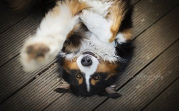 muzzle, look, dog, paw, sheltie, chilli, scottish ovcharka, dackelpup