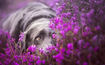 sadness, look, dog, labrador, retriever, lying, purple flowers
