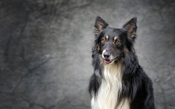 look, dog, puppy, collie, scottish shepherd