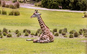 трава, животное, жираф, зоопарк, шея