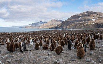 птицы, пингвины, королевский пингвин