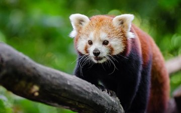 дерево, мордочка, красная панда, малая панда