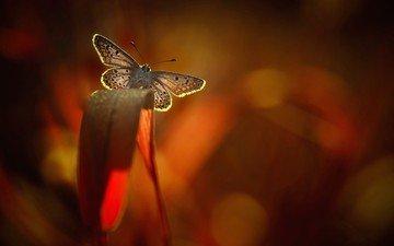 растения, насекомое, бабочка, крылья, макр