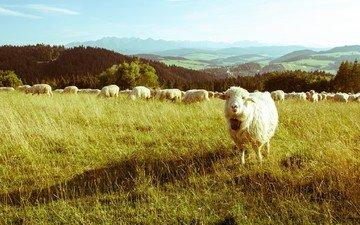 трава, горы, пейзаж, поле, луг, пастбище, овцы, овца