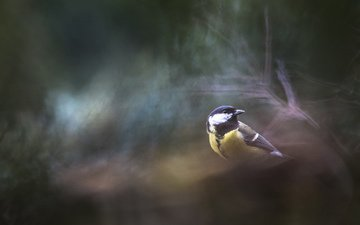 природа, фон, птица, синица, cyril peron