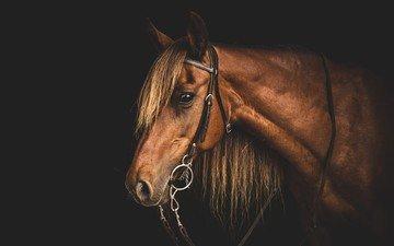 морда, лошадь, профиль, конь, грива, голова, узда, уздечка