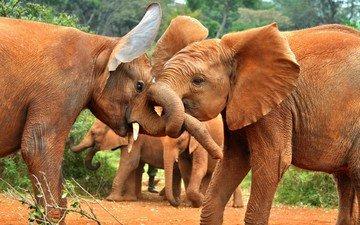 природа, африка, слоны, стадо, хобот, слонята, слоняа
