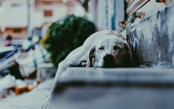 snow, ladder, winter, sleep, dog, street, labrador