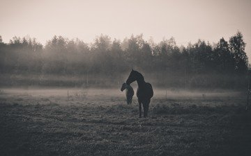 morning, animals, fog, dawn, black and white, silhouette, horse