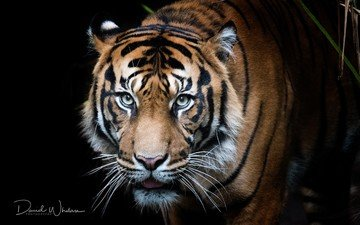tiger, eyes, face, background, mustache, cat, look, predator, black background
