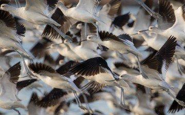 полет, крылья, птицы, стая, шилоклювка, gary seloff