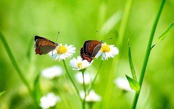 цветы, трава, крылья, насекомые, ромашки, бабочки