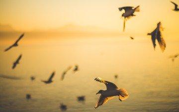 утро, полет, рассвет, крылья, птицы, силуэт, чайки