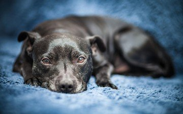 eyes, look, dog, stafford, staffordshire bull terrier, arturas kerdokas