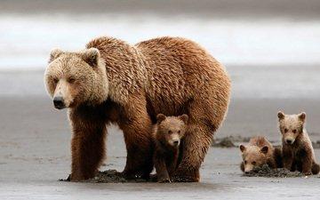 bears, bear, grizzly bear