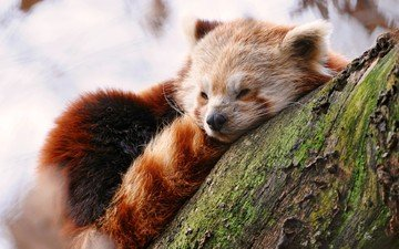 tree, muzzle, sleep, red panda