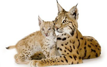 eyes, lynx, look, predator, ears, white background, cub