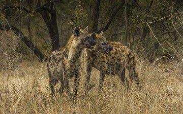 африка, саванна, гиены, национальный парк крюгера, гиена, пятнистая гиена