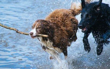 water, squirt, the game, running, stick, dogs, the border collie, newfoundland