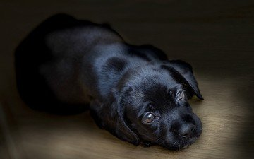 black, dog, puppy, labrador, retriever