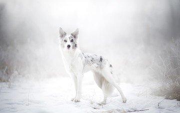 снег, природа, зима, собака, австралийская овчарка, alicja zmysłowska
