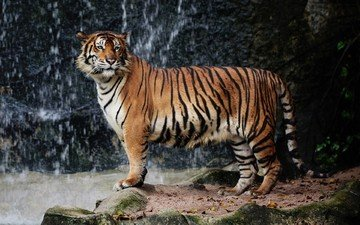 tiger, nature, big cat, animal, wildlife, zoo