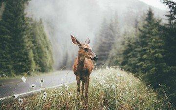 олень, пейзаж, сосны, дикая природа, белохвостый олень