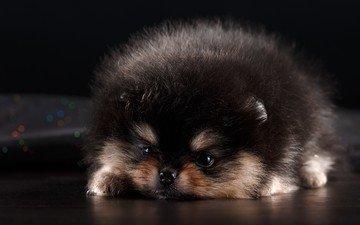 fluffy, dog, puppy, pomeranian, german spitz klein